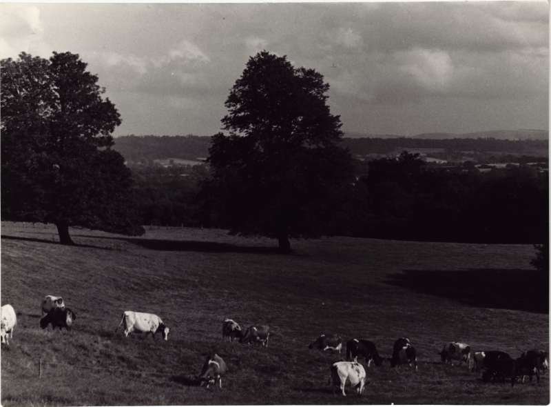 Photo of the countryside with cows in the foreground